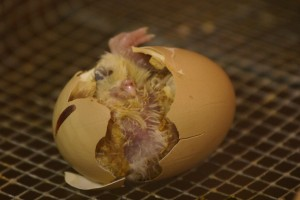Hatching - A struggle that brings life